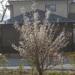 天空だより 4月号 No.1【梅が満開、桜も咲き始めました】